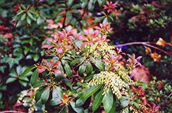 Japanese Pieris (Pieris japonica) at Snavely's Garden Corner
