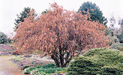 Harry Lauder's Walking Stick (Corylus avellana 'Contorta') at Snavely's Garden Corner