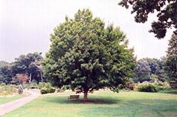 Miyabe Maple (Acer miyabei) at Snavely's Garden Corner