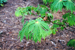 Fullmoon Maple (Acer japonicum) at Snavely's Garden Corner