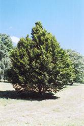 American Hornbeam (Carpinus caroliniana) at Snavely's Garden Corner