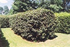 Hedge Maple (Acer campestre) at Snavely's Garden Corner