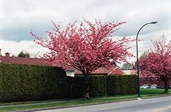 Kwanzan Flowering Cherry (Prunus serrulata 'Kwanzan') at Snavely's Garden Corner