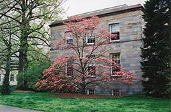 Red Flowering Dogwood (Cornus florida 'var. rubra') at Snavely's Garden Corner