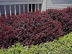Crimson Ruby Barberry (Berberis thunbergii 'Criruzam') at Snavely's Garden Corner