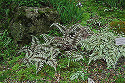 Japanese Painted Fern (Athyrium nipponicum 'Pictum') at Snavely's Garden Corner