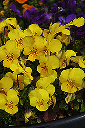 Penny Yellow Pansy (Viola cornuta 'Penny Yellow') at Snavely's Garden Corner