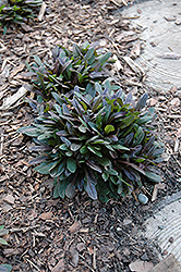 Chocolate Chip Bugleweed (Ajuga reptans 'Chocolate Chip') at Snavely's Garden Corner