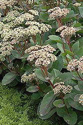 Matrona Stonecrop (Sedum 'Matrona') at Snavely's Garden Corner