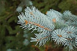 Blue Colorado Spruce (Picea pungens 'var. glauca') at Snavely's Garden Corner