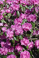 P.J.M. Rhododendron (Rhododendron 'P.J.M.') at Snavely's Garden Corner