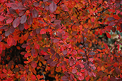 Rose Glow Japanese Barberry (Berberis thunbergii 'Rose Glow') at Snavely's Garden Corner