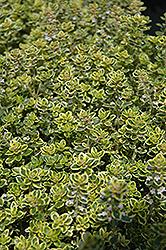 Lemon Thyme (Thymus x citriodorus) at Snavely's Garden Corner