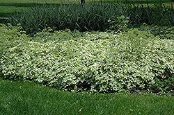 Variegated Bishop's Goutweed (Aegopodium podagraria 'Variegata') at Snavely's Garden Corner