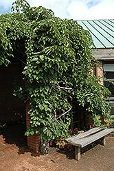 Geneva Hardy Kiwi (Actinidia arguta 'Geneva') at Snavely's Garden Corner