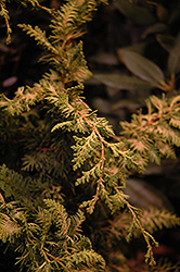 Fernspray Gold Falsecypress (Chamaecyparis obtusa 'Fernspray Gold') at Snavely's Garden Corner