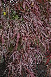Tamukeyama Japanese Maple (Acer palmatum 'Tamukeyama') at Snavely's Garden Corner