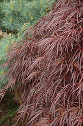 Red Select Cutleaf Japanese Maple (Acer palmatum 'Dissectum Red Select') at Snavely's Garden Corner