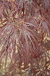 Garnet Cutleaf Japanese Maple (Acer palmatum 'Garnet') at Snavely's Garden Corner