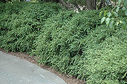 Wintergreen Boxwood (Buxus microphylla 'Wintergreen') at Snavely's Garden Corner