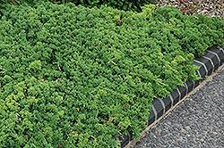 Green Mound Dwarf Japanese Juniper (Juniperus procumbens 'Green Mound') at Snavely's Garden Corner