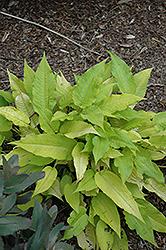 Golden Arrow Fleeceflower (Persicaria amplexicaulis 'Golden Arrow') at Snavely's Garden Corner