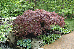 Red Select Japanese Maple (Acer palmatum 'Red Select') at Snavely's Garden Corner