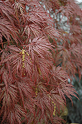 Inaba Shidare Cutleaf Japanese Maple (Acer palmatum 'Inaba Shidare') at Snavely's Garden Corner