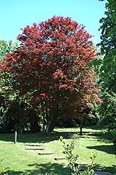 Purple-Leaf Japanese Maple (Acer palmatum 'Atropurpureum') at Snavely's Garden Corner