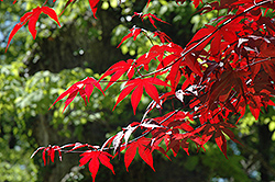 Emperor I Japanese Maple (Acer palmatum 'Wolff') at Snavely's Garden Corner