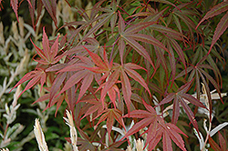 Dwarf Red Pygmy Japanese Maple (Acer palmatum 'Red Pygmy') at Snavely's Garden Corner