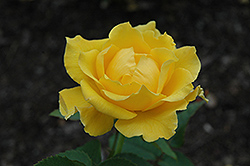Midas Touch Rose (Rosa 'Midas Touch') at Snavely's Garden Corner