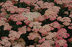 Apricot Delight Yarrow (Achillea millefolium 'Apricot Delight') at Snavely's Garden Corner