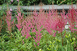 Visions in Pink Chinese Astilbe (Astilbe chinensis 'Visions in Pink') at Snavely's Garden Corner