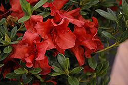 Encore Autumn Bravo Azalea (Rhododendron 'Conlen') at Snavely's Garden Corner