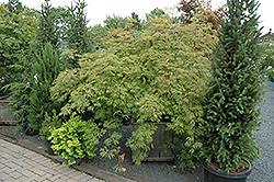 Green Cascade Maple (Acer japonicum 'Green Cascade') at Snavely's Garden Corner