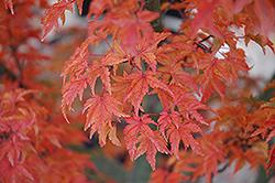 Lions Head Japanese Maple (Acer palmatum 'Shishigashira') at Snavely's Garden Corner