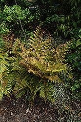 Autumn Fern (Dryopteris erythrosora) at Snavely's Garden Corner