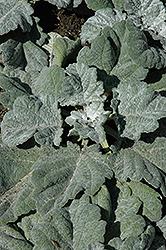 Silver Sage (Salvia argentea 'Artemis') at Snavely's Garden Corner