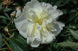 Primevere Peony (Paeonia 'Primevere') at Snavely's Garden Corner
