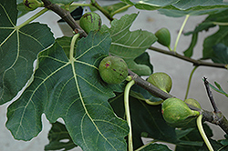 Mission Fig (Ficus carica 'Mission') at Snavely's Garden Corner