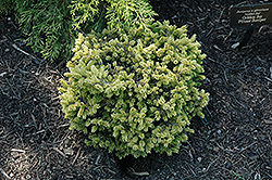 Tom Thumb Oriental Spruce (Picea orientalis 'Tom Thumb') at Snavely's Garden Corner