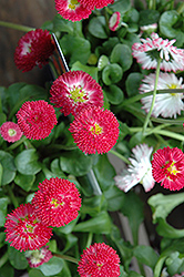 Bellisima Red English Daisy (Bellis perennis 'Bellissima Red') at Snavely's Garden Corner