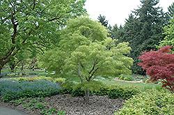 Koto No Ito Japanese Maple (Acer palmatum 'Koto No Ito') at Snavely's Garden Corner