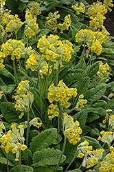 English Cowslip (Primula veris) at Snavely's Garden Corner