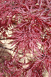 Red Dragon Japanese Maple (Acer palmatum 'Red Dragon') at Snavely's Garden Corner