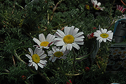 Silver Kisses Mount Atlas Daisy (Anacyclus pyrethrum 'Silberkissen') at Snavely's Garden Corner