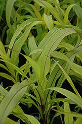 Jester Millet (Pennisetum glaucum 'Jester') at Snavely's Garden Corner