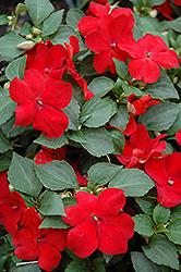 Super Elfin Red Impatiens (Impatiens walleriana 'Super Elfin Red') at Snavely's Garden Corner