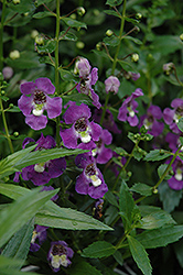 Archangel™ Purple Angelonia (Angelonia angustifolia 'Archangel Purple') at Snavely's Garden Corner